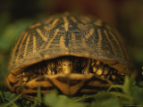 A Nervous Female Ornate Box Turtle Peeps out from Her Shell