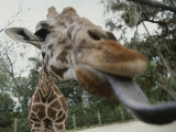 The Long Blue Tongue of a Giraffe Reaches out Toward the Camera