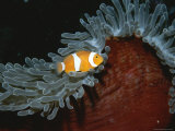 False Clown Anemonefish in Tentacled Sea Anemone