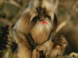 A Male Gelada Mounts a Young Female