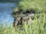 River Otters, Yellowstone Lake