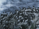 Common Murres Gather on the Rocks