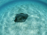 A Southern Stingray, Dasyatis Americana, Lies on a Sandy Sea Floor