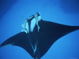 Two Remoras Hitch a Ride on the Head of a Manta Ray, Manta Birostris