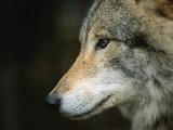 Close View of Wolf