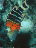 Buy Red-Banded Wrasse at AllPosters.com