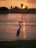 A Great Blue Heron in Silhouette at Sunset
