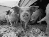 Young Pigs in a Snowy Pen