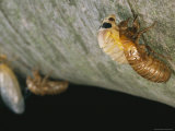 Brood X, 17-Year Cicadas Emerge from Their Nymphal Exoskeletons