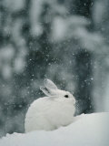 Snow Falls on a Snowshoe Hare in its Winter Coat