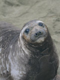 A Portrait of a Female Elephant Seal
