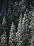 Snow Covers a Forest of Evergreen Trees in Flagstaff, Arizona