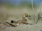 A Stone Curlew Rests in the Sand