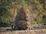 Leopards Mate Hundreds of Times during the Females Week-Long Estrus