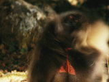 Male Gelada Swishes his Mane