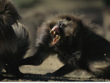 Male Gelada Bares his Teeth While Chasing Another Male