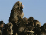 Male Gelada Bares his Teeth as He Stands Guard over his Family