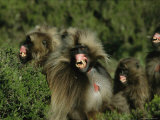 Family of Geladas Bare Their Gums and Teeth Threateningly