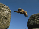 Gelada Leaps Between Two Large Rocks