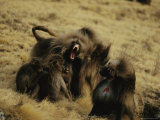 Male Gelada Warns Another Male Not to Come near his Family
