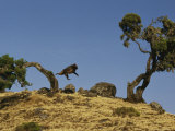 Gelada Baboon Leaps from a Tree