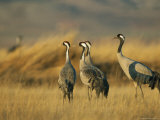 Common Cranes in a Grassy Landscape