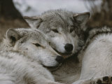 Napping Gray Wolves