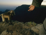Gelada Warily Approaches a Mans Outstretched Hand