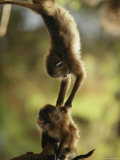 Two Juvenile Geladas Play Together in a Tree