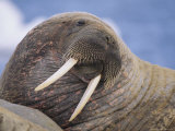 Portrait of an Atlantic Walrus