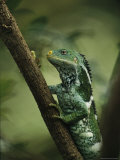 Close View of a Crested Iguana Perched on a Tree Branch