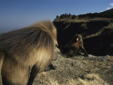 Large Male Gelada Approaches Another Gelada Sitting on a Cliff