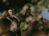 Male Gelada Bares his Teeth as Another Looks On