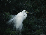 Great Egret Displays its Plumage