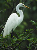 Great Egret Perches on a Tree Branch