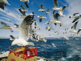 Silver Gulls Feed on Fish Scraps on the Back of a Boat