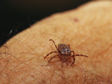 Grass or Bull Dog Tick on a Human Arm
