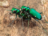 Six-Spotted Green Tiger Beetle, Cincindela Formosa, in Embrace
