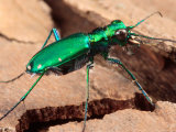 Portrait of a Six-Spotted Green Tiger Beetle, Cincindela Formosa/