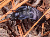 Close View of a Purple Ground Beetle, Chalosoma Claenius