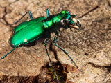 A Six-Spotted Green Tiger Beetle, Cincindela Formosa, Hunting