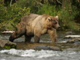 Alaskan Brown Bear (Ursus Arctos) Walking in River and Fishing