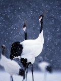 Pair Endangered Red-Crowned Cranes Calling in Snow (Grus Japonensis)