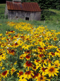 Hirta Daisy and Barn, Waits River, Vermont, USA