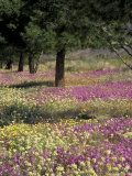 Sand Verbena and Brown-Eyed Primrose, Texas, USA