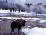 American Bison Walking along Edge of Wintry Thermal Pool, Yellowstone National Park, Wyoming, USA