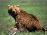 Grizzly Bear, Sow and Cub