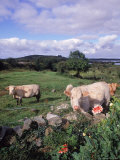 Cows, Cashel Bay, Co Galway, Ire