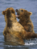 Grizzly Bears Playing, Alaska