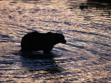 Silhouetted Grizzly Bear Wading Through Water